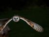 barn-owl-1710532_1920