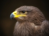 golden-eagle-50713_1280
