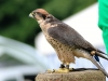 lanner-falcon-1683004_1280