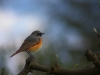 common-redstart-182136_1280-6fb148e08b6a7905aa9c57c9a6c2adb755709177