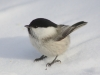 bird_winter_snow