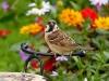 sparrow-1539475_1920