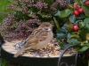 sparrow-1893138_1920