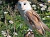 barn-owl-275942_1920