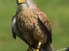 bird-of-prey-778476_1920