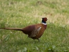 common-pheasant-854865_1920