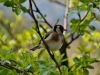 goldfinch-739079_1280