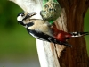 great-spotted-woodpecker-783547_1280