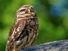 owl-275941_1280