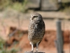 owl-639445_1280