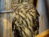 owl-679774_1920