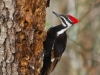 pileated-woodpecker-938685_1280