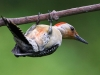 red-bellied-woodpecker-941325_1280