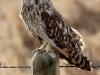 short-eared-owl-966529_1280