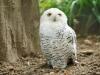 snowy-owl-981618_1280