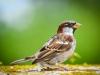 sparrow-804879_1920