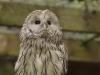 ural-owl-842436_1920