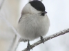 willow-tit-938403_1280
