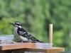 woodpecker-797398_1280