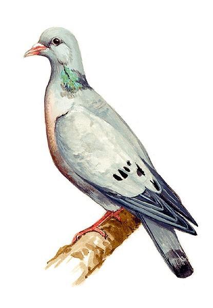 holubdoupnak