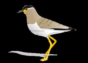 ptaciee